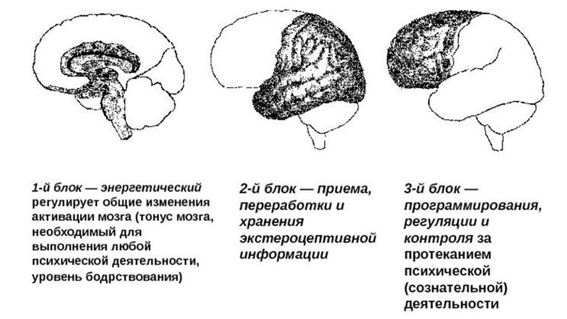 девушка модель работы мозга по лурии